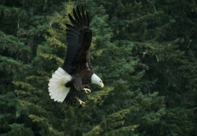 Where To Photograph Bald Eagles New York