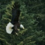 Where To Photo Bald Eagles in New York