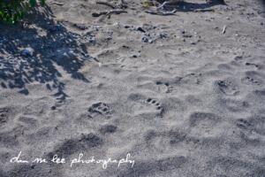 Alaska Grizzly Bear Prints