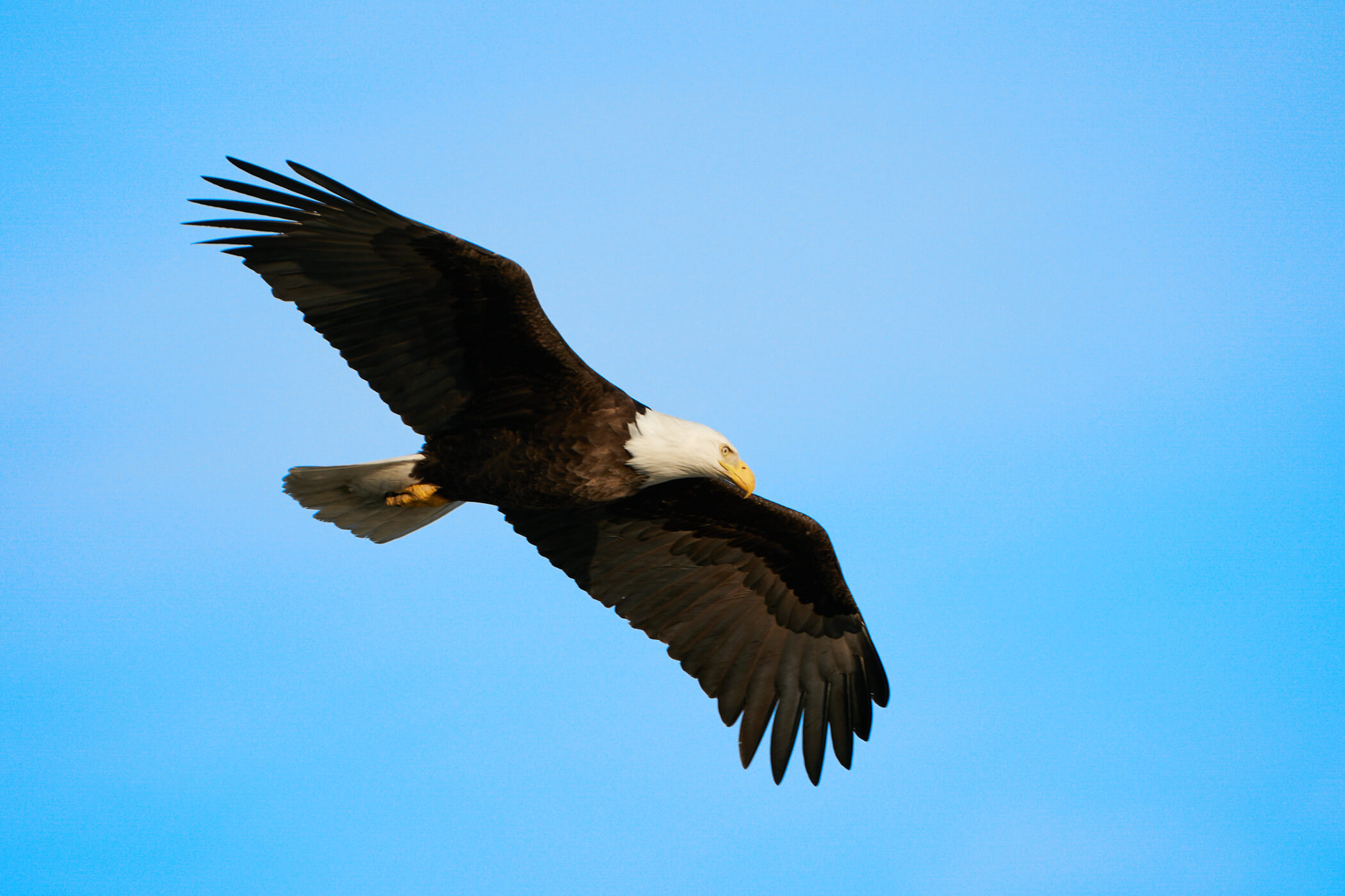 Where to find eagles in alaska