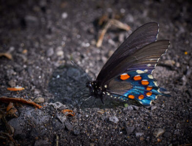 The Great Smoky Mountains Photography Guide Butterfly