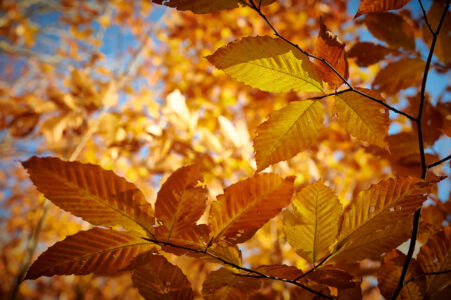 Fall in Lake Placid Yellow Leaf