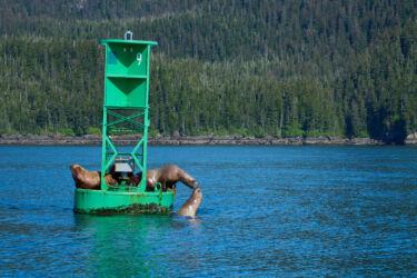 Sealions Near Valdez