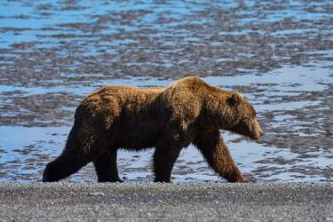 Chinitna Bay Brown Bears