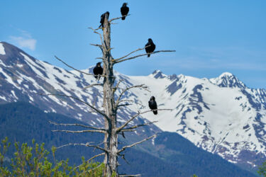 Alaskan Crows in Turnagain Arm